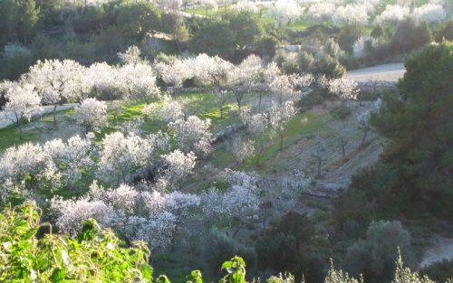 マヨルカアーモンドの花