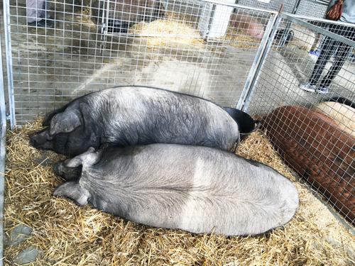 マヨルカ豚