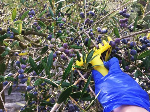 マヨルカのオリーブ収穫方法