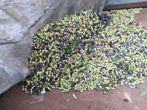 収穫されたオリーブ