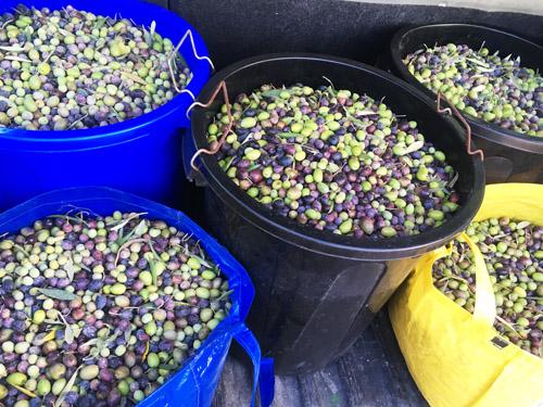 収穫後のマヨルカオリーブ